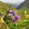 High altitude flowers from Romanian Carpathians