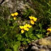 High altitude flowers from Romanian Carpathians