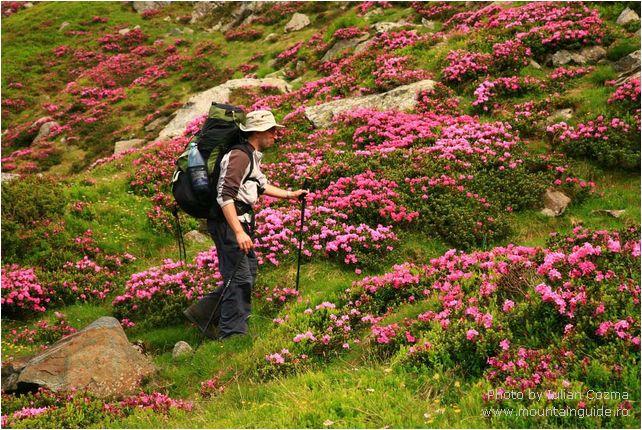 Rododendron in Fagaras mountains